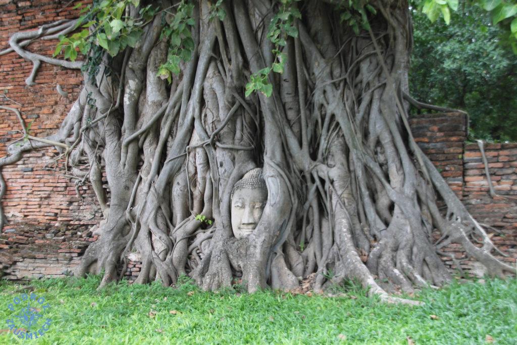 Ayutthya głowa Buddy w pniu